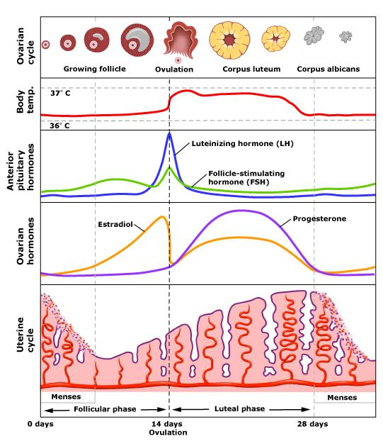 Here is the menstrual cycle in its full glory. Sorry if this freaks anyone out.